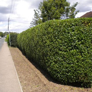 Hedge Manitenance